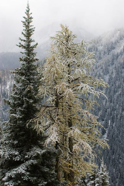 larch tree in snow