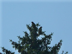 Two redtails