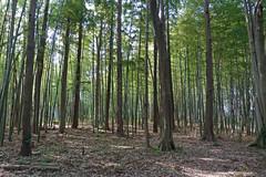 久田緑地―南地区の竹林(Kuden Ryokuchi, Kanagawa, Japan)