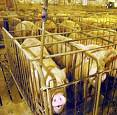 factory farming pigs