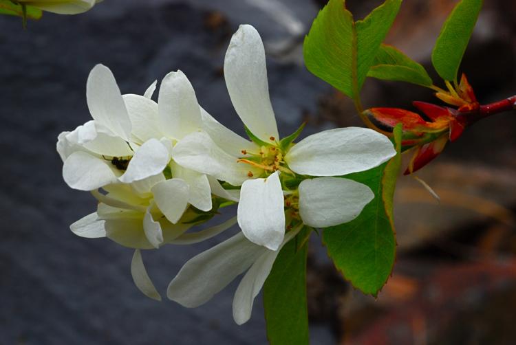 Saskatoon serviceberry