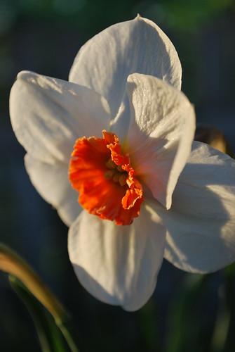 Narcissus poeticus Actae