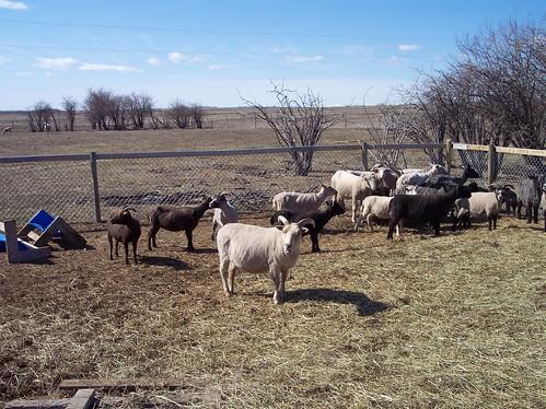 Sheep Shearing II
