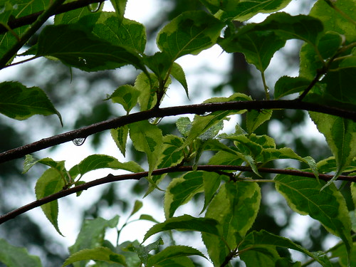 Norfolk Botanical Gardens - Droplets on Wet Branches