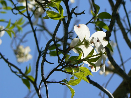 Hertford Tree Memorial - Dogwood Blossoms From Below