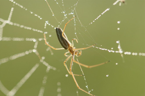 Image: Orb Weaver spider in web