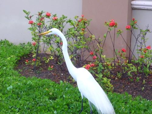 A white heron?