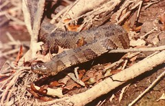 Brown Water Snake (1980)