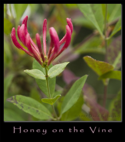 Honey on the Vine ~ Project 365/172