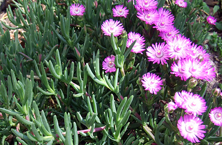 chorina lilás
