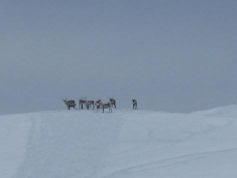 Reindeer Gallery