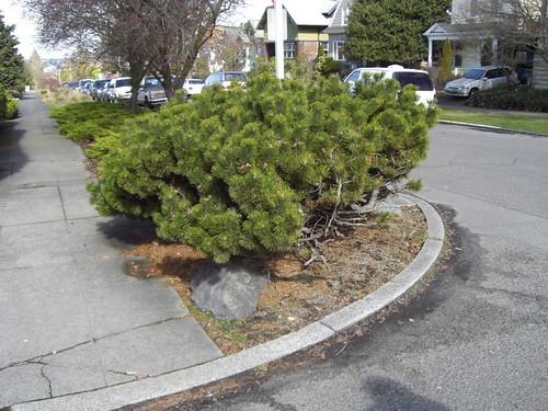Corner pine