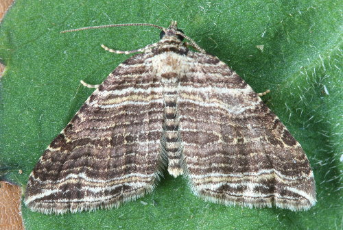 7330 - Anticlea multiferata - Many-lined Carpet