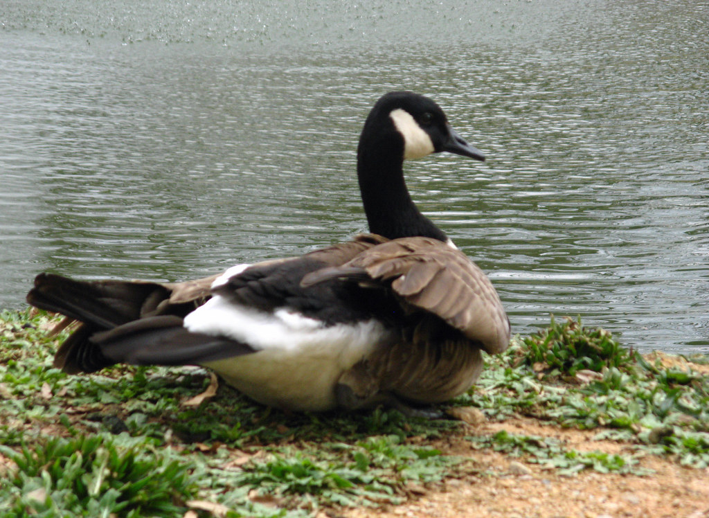 Goose Preening