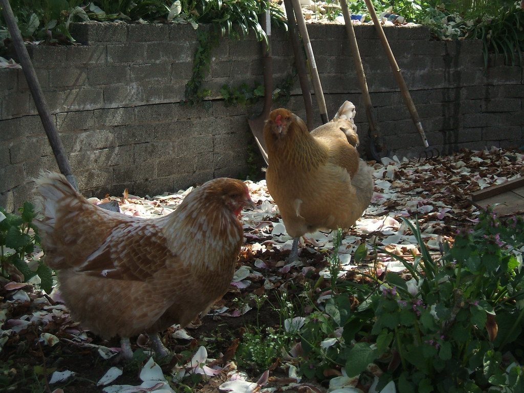 City chickens free-ranging