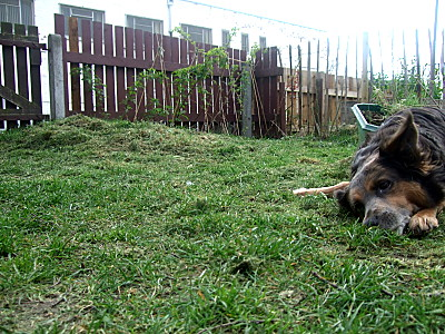 Next project: see the lil rise next to the gate? thats a lump of soil/grass from when i was digging out the hole for the greenhouse. Ignore the cute puppeh trying to get attention (therell be a jess-love post later). digging up that lump is the next project. And no, im not talking about Jess!