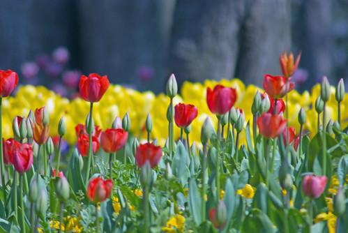 red tulips, Istanbul tulip festival 2009, Istanbul lale festivalinden kırmızı laleler, Istanbul, pentax k10d