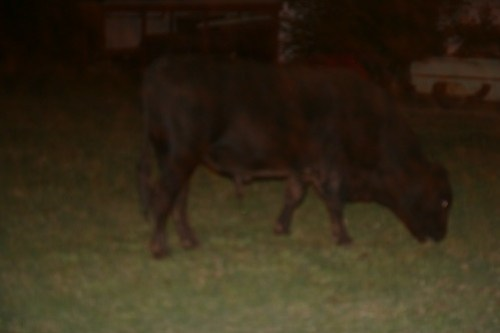 The nocturnal bull that keeps returning to our camper each night.