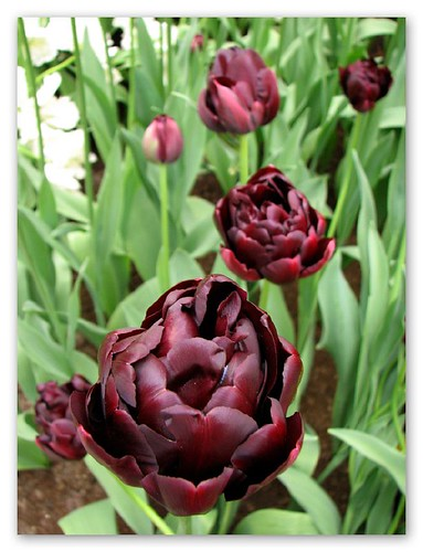 Black tulips by you.