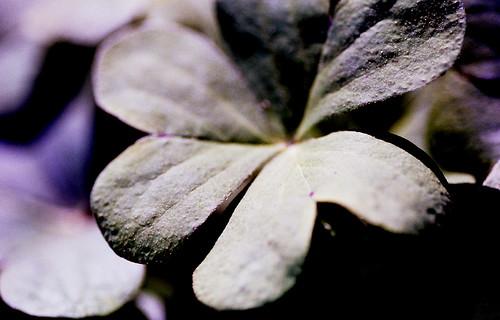 Day for Night — Clover. (Kodak Ultra Color 100. Nikon F100. Epson V500.)