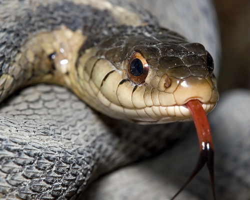 Garter Snake Using Vomeronasal Organ