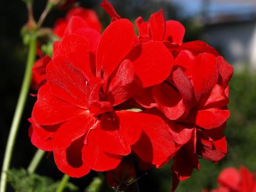 Geraniums - always reliable for that splash of vibrant colour