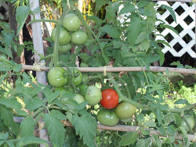 Tomatoes-ripe