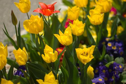 yellow tulips, Istanbul Tulip Festival 2009, İstanbul, Pentax K10d