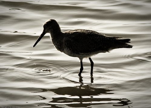 Willet by you.