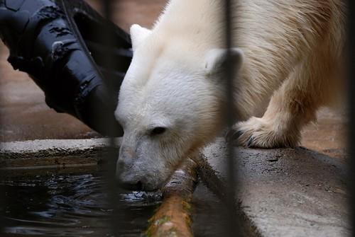 Eisbärin Vaida im Zoo Tallinn