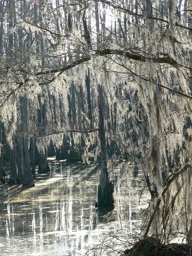 Merchant's Millpond State Park - Winter Wonderland, Swamp Style
