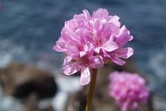California Sea Pink