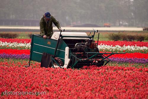 Recolectando tulipanes