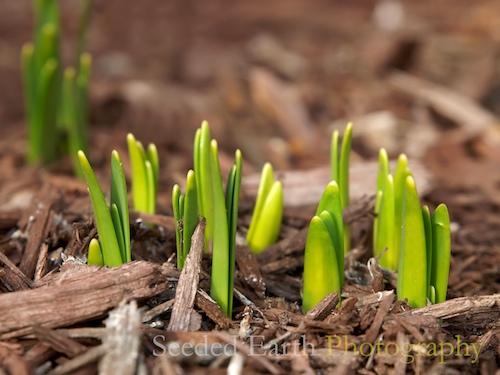 Finally. . . the Daffodils are Peeking