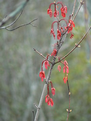 Camden Causeway Park - Red Maple Seeds