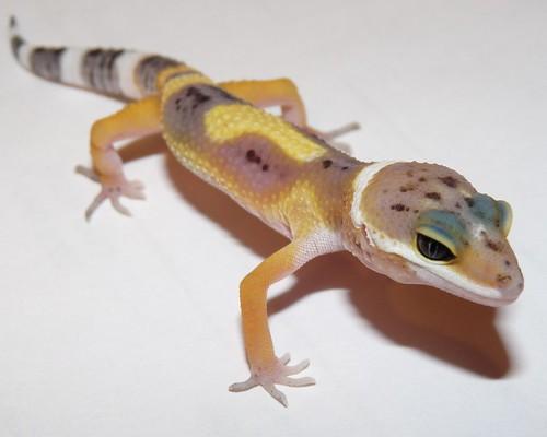 SHTCT Leopard Gecko