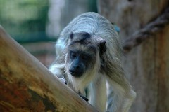Brüllaffe im Zoo Gdansk