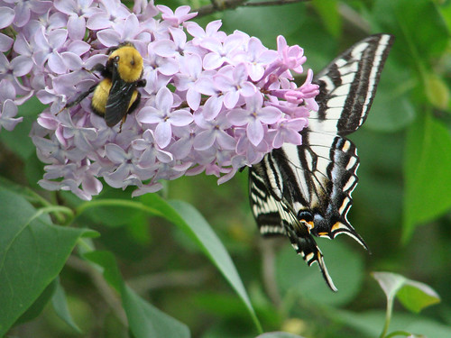 SwallowtailLilac