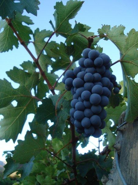 uvas argentinas