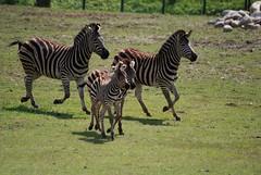 Chapman-Zebras im Zoo Gdansk
