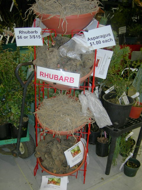 Rhubarb plants for sale