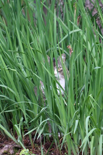 Hobbes in tall grass