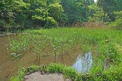 新治市民の森―池ぶち(Pond, Niiharu Community Woods, Yokohama, Kanagawa, Japan, 2011)