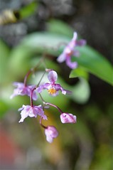 Tiny Orchid