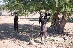 Goat eating Argan Tree leaves