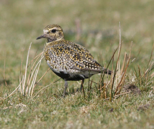 "Golden Plover • <a style=""font-size:0.8em;"" href=""http://www.flickr.com/photos/30837261@N07/10723262186/"" target=""_blank"">View on Flickr</a>"