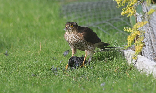 """Sparrowhawk with Starling, 12.02.14 (D.king) • <a style=""""font-size:0.8em;"""" href=""""http://www.flickr.com/photos/30837261@N07/13851737914/"""" target=""""_blank"""">View on Flickr</a>"""