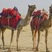 "2014-01-18-thar-desert-jaisalmer-india-0002 • <a style=""font-size:0.8em;"" href=""http://www.flickr.com/photos/51501120@N05/13274390824/"" target=""_blank"">View on Flickr</a>"