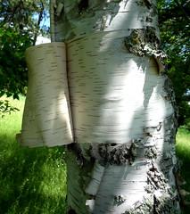 Birch, with bark peeling