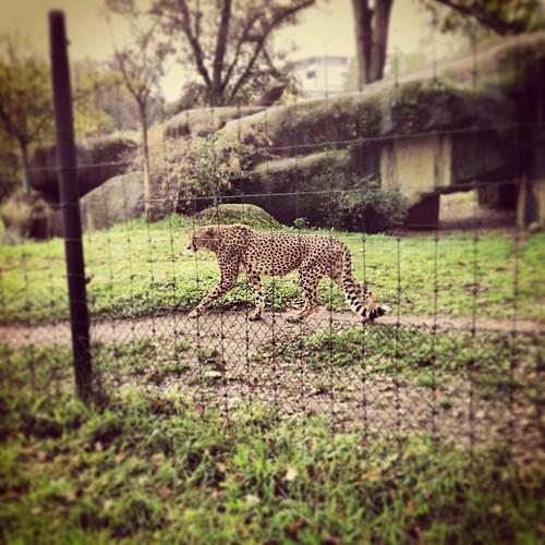 Gepard #catcontent #ZOOBasel